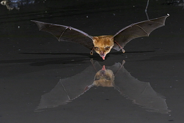 Decken's Horseshoe Bat (Rhinolophus deckenii) drinking, Gorongosa National Park, Mozambique