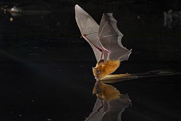 Sundevall's Roundleaf Bat (Hipposideros caffer) drinking, Gorongosa National Park, Mozambique