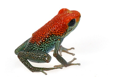 Granular Poison Dart Frog (Dendrobates granuliferus), Costa Rica