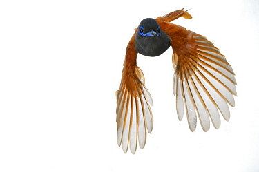 African Paradise-Flycatcher (Terpsiphone viridis) flying, Gorongosa National Park, Mozambique