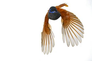African Paradise-Flycatcher (Terpsiphone viridis) flying, Gorongosa National Park, Mozambique