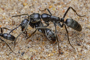 Ant (Megaponera analis) carrying injured individual back to colony for treatment, Gorongosa National Park, Mozambique