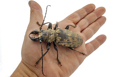 Longhorn Beetle (Tithoes confinis) on hand, Gorongosa National Park, Mozambique