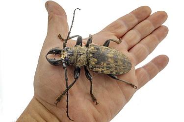 Longhorn Beetle (Tithoes confinis) on hand, Gorongosa National Park, Mozambique