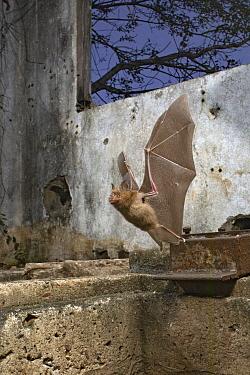 Horseshoe Bat (Rhinolophus lobatus) flying from roost in abandoned building, Gorongosa National Park, Mozambique
