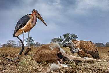 Marabou Stork (Leptoptilos crumeniferus) and White-backed Vulture (Gyps africanus) feeding on Southern Reedbuck (Redunca arundinum) carcass, Gorongosa National Park, Mozambique