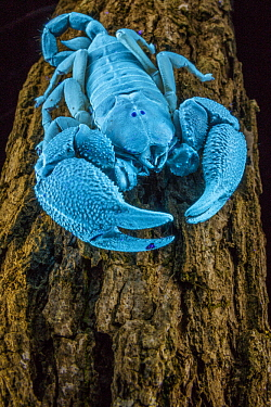 Scorpion (Opisthacanthus asper), seen in UV light, Gorongosa National Park, Mozambique