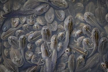 Edible Bullfrog (Pyxicephalus edulis) tadpoles, Gorongosa National Park, Mozambique