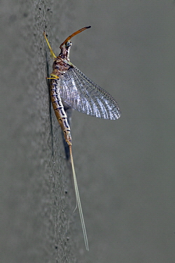 Mayfly (Ephemera mooiana), Gorongosa National Park, Mozambique