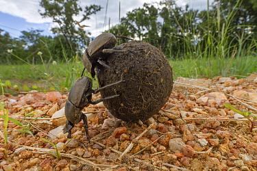 Dung Beetle (Kheper aegyptiorum) pair rolling dung ball, Gorongosa National Park, Mozambique