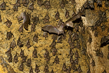 Mozambican Horseshoe Bat (Rhinolophus mossambicus) colony in cave, Gorongosa National Park, Mozambique