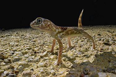 Giant Ground Gecko (Chondrodactylus angulifer) in defensive posture at night, Namib Desert, Namibia