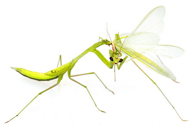 Mantid (Miomantis sp) female feeding on male after mating, Gorongosa National Park, Mozambique