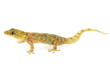 Moreau's Tropical House Gecko (Hemidactylus mabouia), Gorongosa National Park, Mozambique
