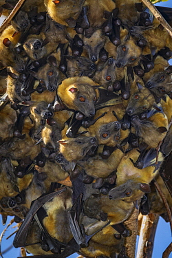 Straw-colored Fruit Bat (Eidolon helvum) group roosting, Maputo, Mozambique