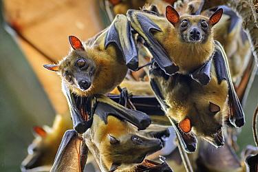 Straw-colored Fruit Bat (Eidolon helvum) group roosting, Maputo, Mozambique