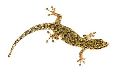 Dwarf Yellow-headed Gecko (Lygodactylus luteopicturatus), Gorongosa National Park, Mozambique