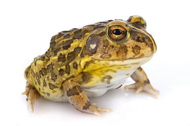 Edible Bullfrog (Pyxicephalus edulis), Gorongosa National Park, Mozambique