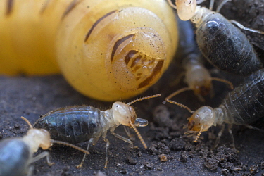 Higher Termite (Cubitermes pallidiceps) workers collecting eggs laid by queen, Gorongosa National Park, Mozambique