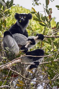 Indri (Indri indri) feeding in tree, Maromizaha Reserve, Madagascar