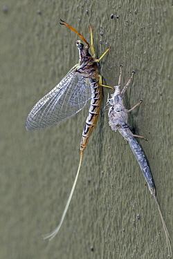 Mayfly (Ephemera mooiana) recently emerged from subimago, Gorongosa National Park, Mozambique