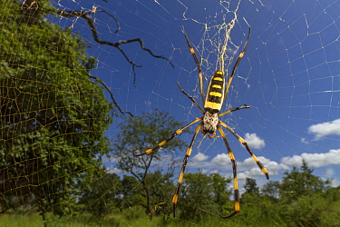 Banded-legged Golden Orb-web Spider (Nephila senegalensis), Gorongosa National Park, Mozambique