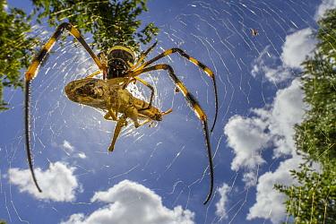 Banded-legged Golden Orb-web Spider (Nephila senegalensis) feeding on grasshopper prey, Gorongosa National Park, Mozambique