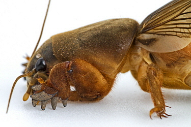 African Mole Cricket (Gryllotalpa africana) with feet adapted for digging, Gorongosa National Park, Mozambique
