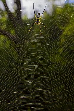 Banded-legged Golden Orb-web Spider (Nephila senegalensis) in web, Gorongosa National Park, Mozambique