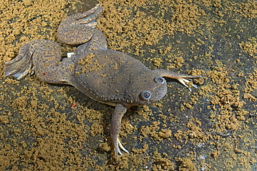 African Clawed Frog (Xenopus laevis), Gorongosa National Park, Mozambique