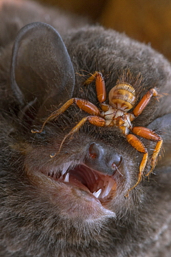 Wingless Bat Fly (Penicillidia sp) on head of Long-winged Bat (Miniopterus mossambicus), Gorongosa National Park, Mozambique