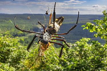 Golden Orb-web Spider (Nephila komaci) feeding on grasshopper prey, Gorongosa National Park, Mozambique