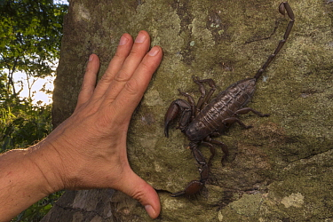 Flat Rock Scorpion (Hadogenes granulatus) and hand, Gorongosa National Park, Mozambique