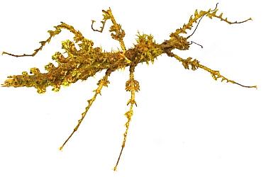 Mossy Stick Insect (Trychopeplus laciniatus), Costa Rica
