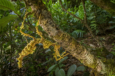Mossy Stick Insect (Trychopeplus laciniatus) in rainforest, Costa Rica