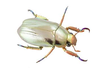 Scarab Beetle (Chrysina batesi), Monteverde Cloud Forest Reserve, Costa Rica