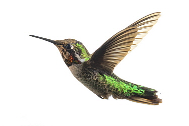 Anna's Hummingbird (Calypte anna) male flying, Los Angeles, California