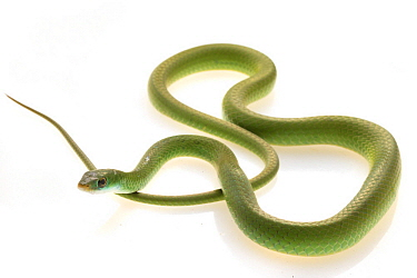 Southeastern Green Snake (Philothamnus hoplogaster), Gorongosa National Park, Mozambique