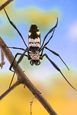 Golden Orb-web Spider (Nephila komaci), Gorongosa National Park, Mozambique