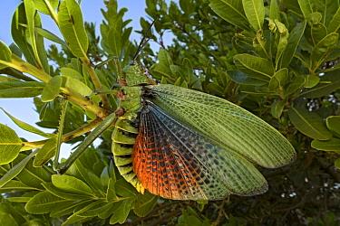 Green Milkweed Locust (Phymateus viridipes) in defensive posture, Mpumalanga, South Africa