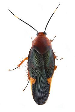 Giant Cockroach (Eustegasta sp), Gorongosa National Park, Mozambique