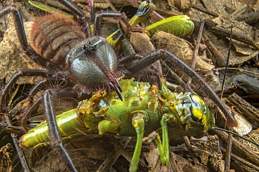 Sun Spider (Zeria sp) feeding on grasshopper prey, Gorongosa National Park, Mozambique