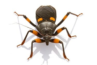Assassin Bug (Platymeris sp), Gorongosa National Park, Mozambique