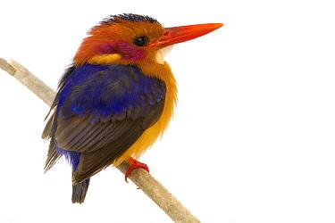 Malachite Kingfisher (Alcedo cristata), Gorongosa National Park, Mozambique