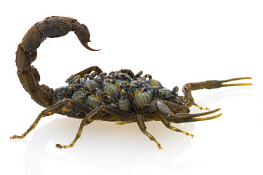 Scorpion (Parabuthus transvaalicus) female carrying young, Gorongosa National Park, Mozambique