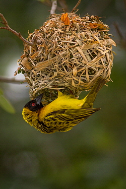 Village Weaver (Ploceus cucullatus) building nest, Gorongosa National Park, Mozambique