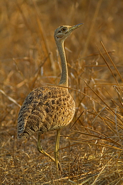 Black-bellied Bustard (Lissotis melanogaster), Gorongosa National Park, Mozambique