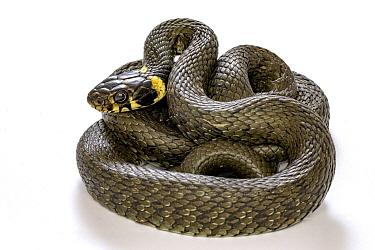 Grass Snake (Natrix natrix), Poland