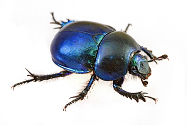 Dor Beetle (Geotrupes vernalis), Poland