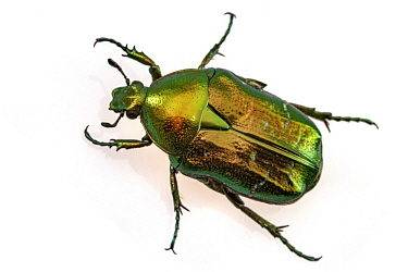 Green Rose Chafer (Cetonia aurata), Poland